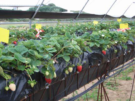Estudio comparativo del comportamiento de dos formatos de planta de fresa: Planta alveolada o en taco y planta a raíz desnuda