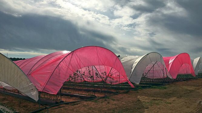 El Adesva acoge la presentación del plástico luminiscente con tecnología Magic Lite diseñado para berries